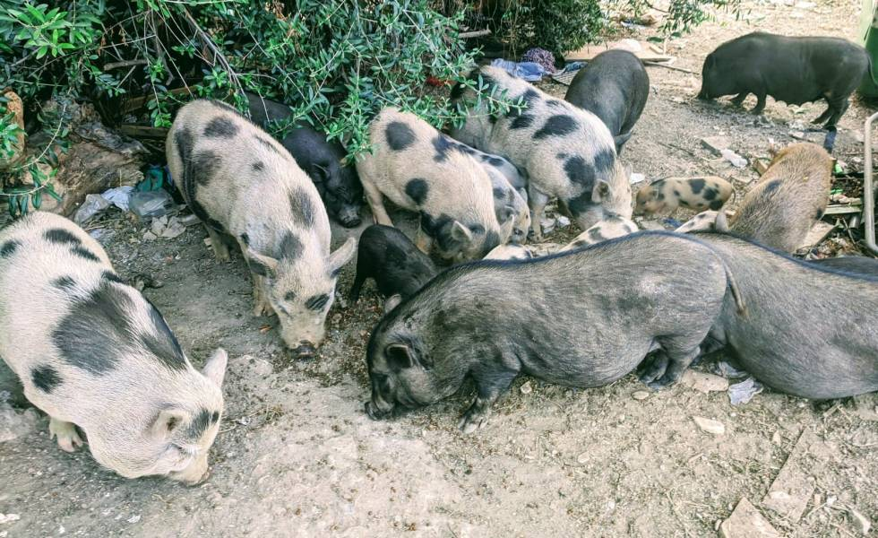 Cerdos vietnamitas inofensivos